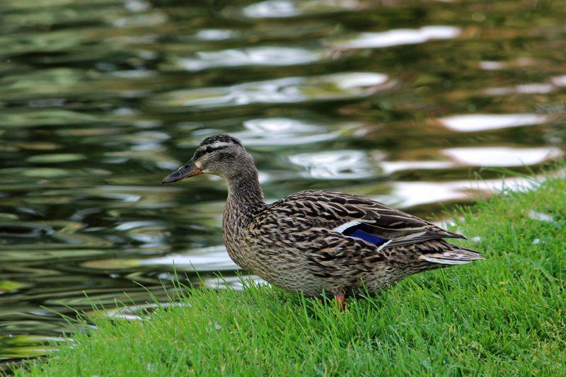 Duckpk_6595